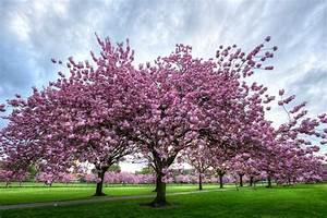Interesting Facts About Cherry Trees