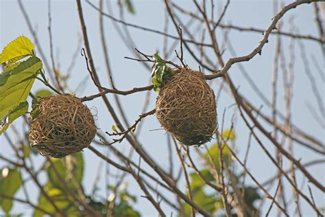 Weaver's Nests On Branches Free Stock Photo - Public Domain Pictures