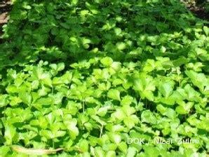 tanaman obat gonore obat herbal gonore