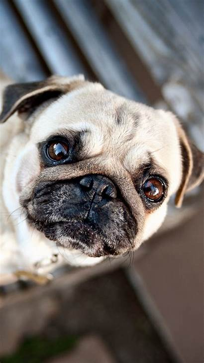 Pug Puppy Dog Puppies Backgrounds Muzzle Wallpapers