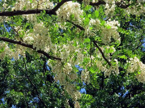 locust tree black locust and honey locust fragrant earth