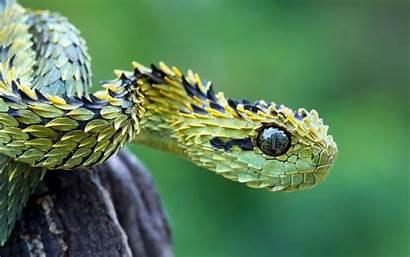 Macro Snake Reptile Vipers Nature Wallpapers Animals