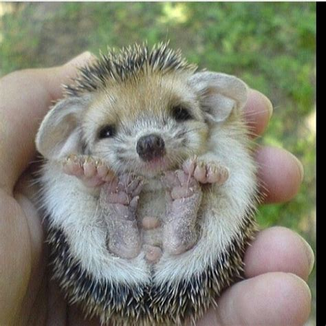 Baby Hedgehog Pictures, Photos, and Images for Facebook