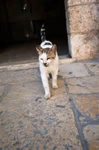ally cats file jerusalem alley cat jpg wikimedia commons