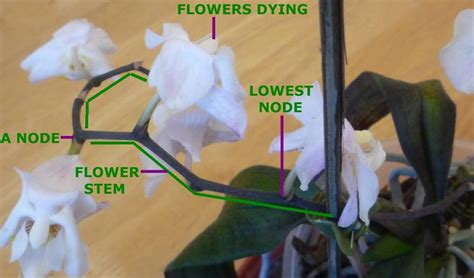 what to do when your orchid flowers fall expert guide to orchid care for the amateur phalaenopsis