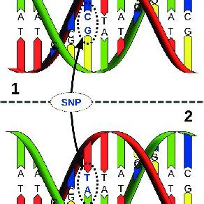jean louis raisaro single nucleotide polymorphism snp with alleles c and t