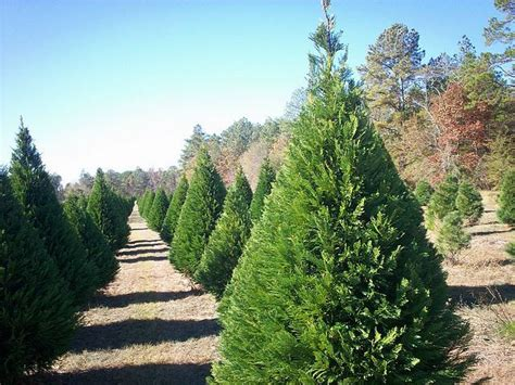 christmas tree farms northern virginia virginia pine coniferous forest