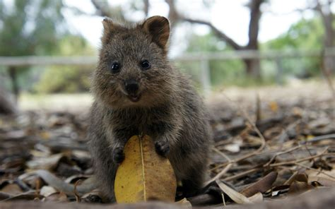 Quokka, Nature, Animals, Leaves Wallpapers Hd / Desktop