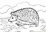 Hedgehog Coloring Pages Coloringpages101 sketch template