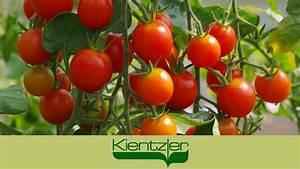 Tomaten Balkon Kübel : tomaten anpflanzen auf balkon terrasse im k bel ein gourmetzauber video youtube ~ Yasmunasinghe.com Haus und Dekorationen