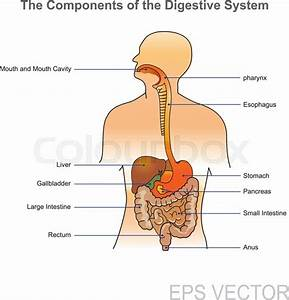 The Human Digestive System Consists Of