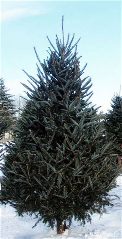 real live fresh mail order 9 fraser fir christmas trees