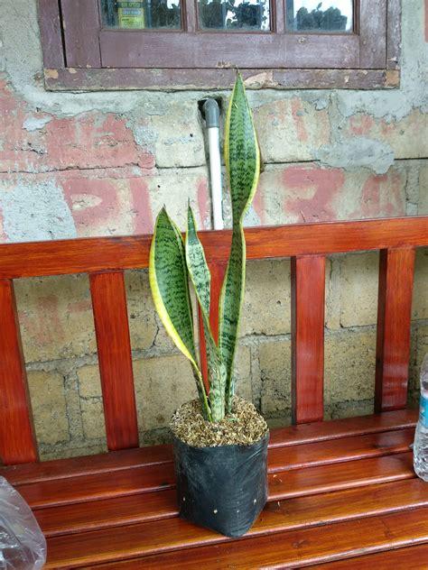 gambar tanaman hias lidah mertua cat rumah minimalis