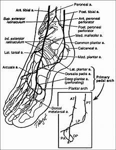 Paramalleolar Circulation  Dorsal  Inset  Primary Pedal