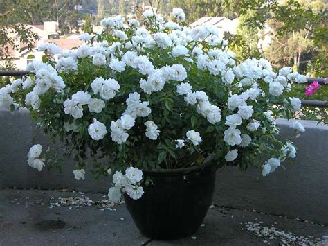 gardenia in a pot iceberg my secret garden
