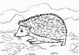 Hedgehog Coloring Printable Pages Cute Hedgehogs Colouring Getcoloringpages Animal Shadow I9 Grass sketch template