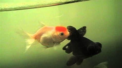 poissons voile de chine en aquarium