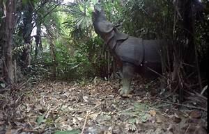 Critically Endangered Javan Rhinos and Calves Captured on ...