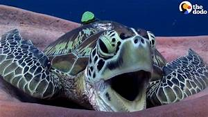 Sea Turtle Yawn is the CUTEST | The Dodo - YouTube