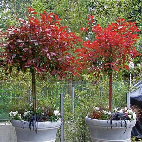 Photinia Topiary Tree  Photinia Red Rebin Standard