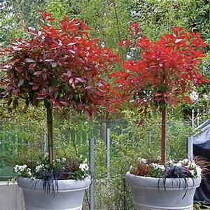 Photinia Red Robin : photinia topiary tree photinia red rebin standard ~ Michelbontemps.com Haus und Dekorationen