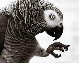 White African Grey Parrot