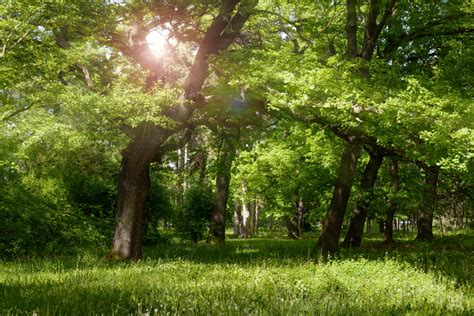 Tree Backgrounds by Sun Rays Between The Trees Background High Quality Free