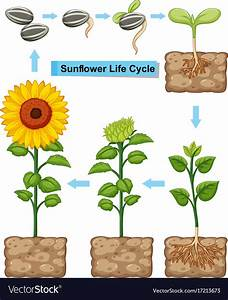 Diagram Of A Sunflower Plant
