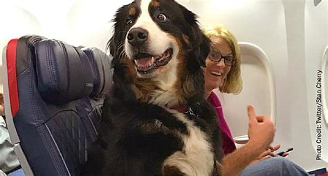 Pets On Planes Emotional Support Or Sham?