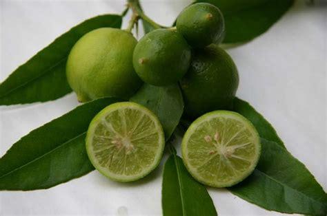 entretien olivier en pot perd ses feuilles digipi co