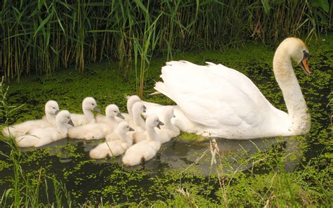white swan family  young swans floating  water green
