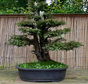 Eibe Schneiden Gefährlich : taxus baccata geimeine eibe als bonsai ~ Lizthompson.info Haus und Dekorationen
