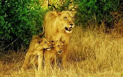 Lion 1080p Lions Wallpapers Lioness Desktop Africas