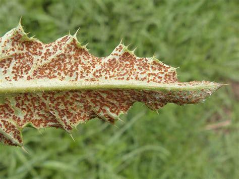 thistle puccinia creeping rust graham calow naturespot