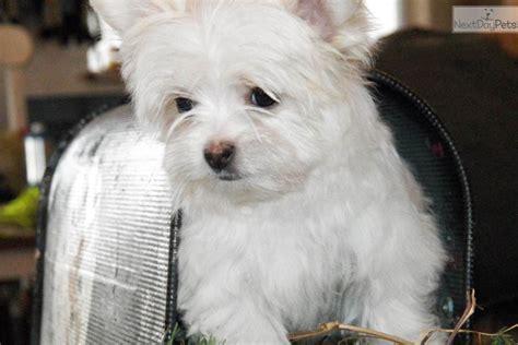meet snowball  cute mixedother puppy  sale