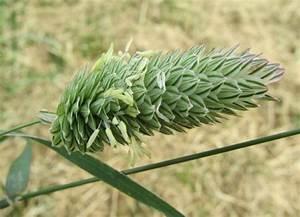 Flora of North America - Genus: Phalaris