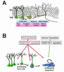 Neurogenesis In The Adult Hippocampus  A  Diagram Of The