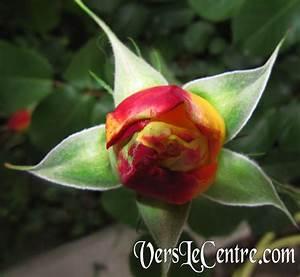Bouton De Rose : fleur vers le centre ~ Dode.kayakingforconservation.com Idées de Décoration
