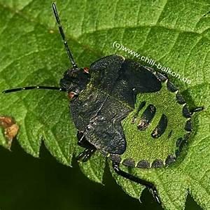Schwarze Käfer Im Garten : gr n schwarze k fer auf erdbeere ~ Lizthompson.info Haus und Dekorationen