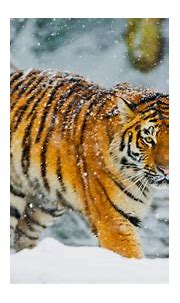 Bengal tiger Snowfall Winter 4K Wallpapers   HD Wallpapers ...