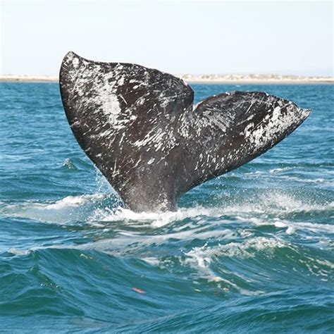 gray whales to begin migration along oregon coast the