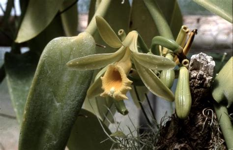 Botanischer Garten Bonn Nutzpflanzen by Die Vanille Tropische Nutzpflanzen In Den Botanischen