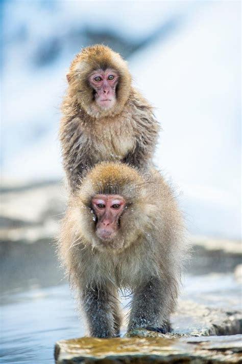 Monkey Mating Stock Photos Download Royalty Free Photos