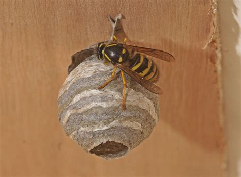 Free photo: Wasp Nests - Bee, Bees, Hive - Free Download - Jooinn