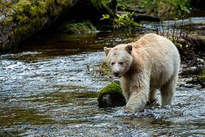Bear Kermode Spirit Rainforest Rare Canada Salmon