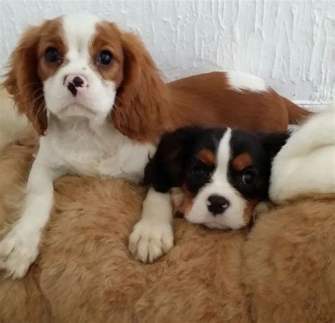 Cavalier King Charles Spaniel Pups Price Reduced