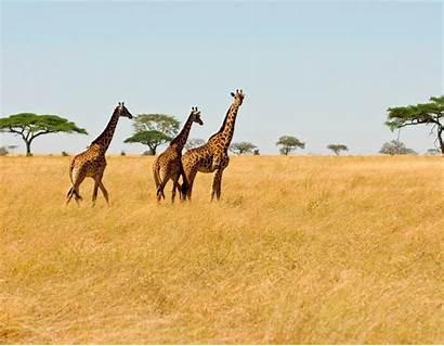 Safari Background Backgrounds Wallpapers Wallpapersafari Keywords Related