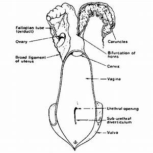 Diagram Of The Female Reproductive System Of A Cow
