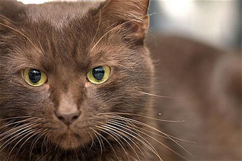 brown cat brown cat pictures and info