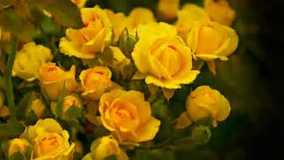 Nature   Flowers Beautiful yellow roses in the garden 055770  jpg  Beautiful Pictures Of Yellow Roses